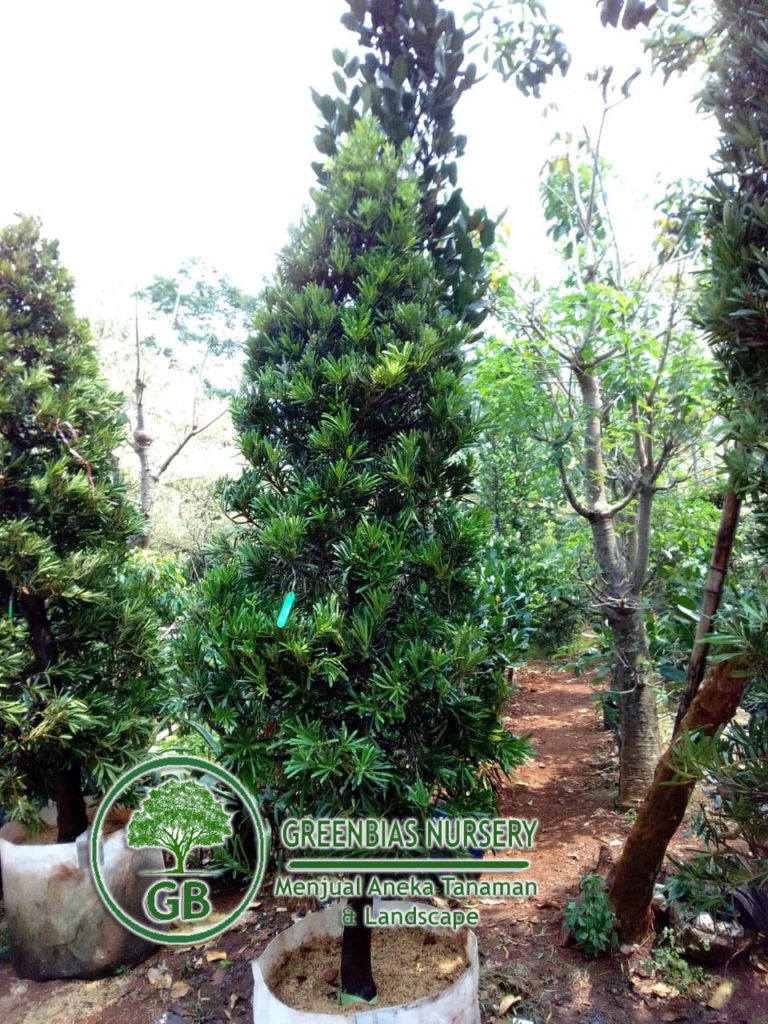 Harga Pohon Louhansung