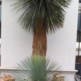 Harga Tanaman Yucca rostrata