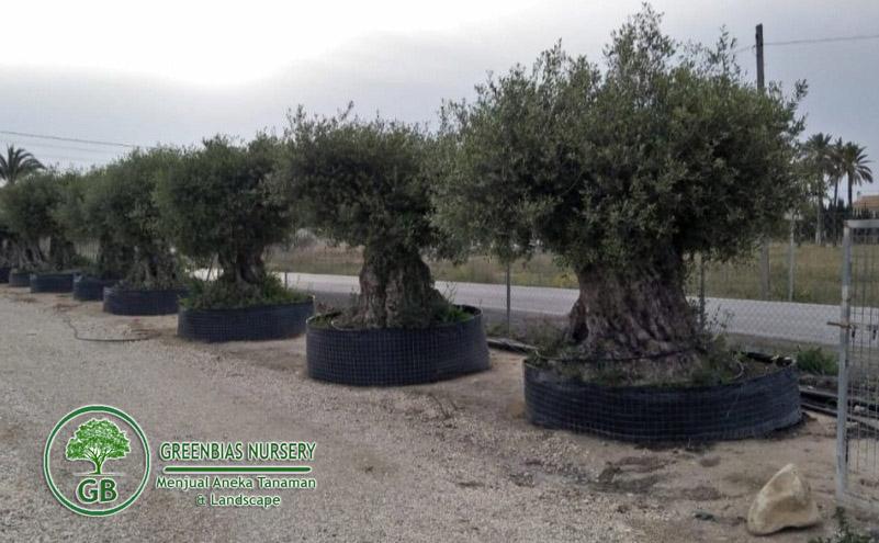 Jual Pohon Zaitun