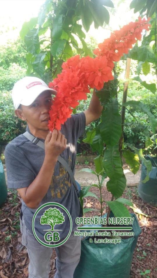 Jual Pohon Warwesia Harga Tanaman Bunga Warwesia