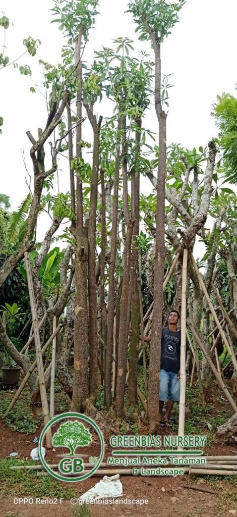 Jual Pohon Pule Grouping Harga Tanaman Pule 2020 Terbaru