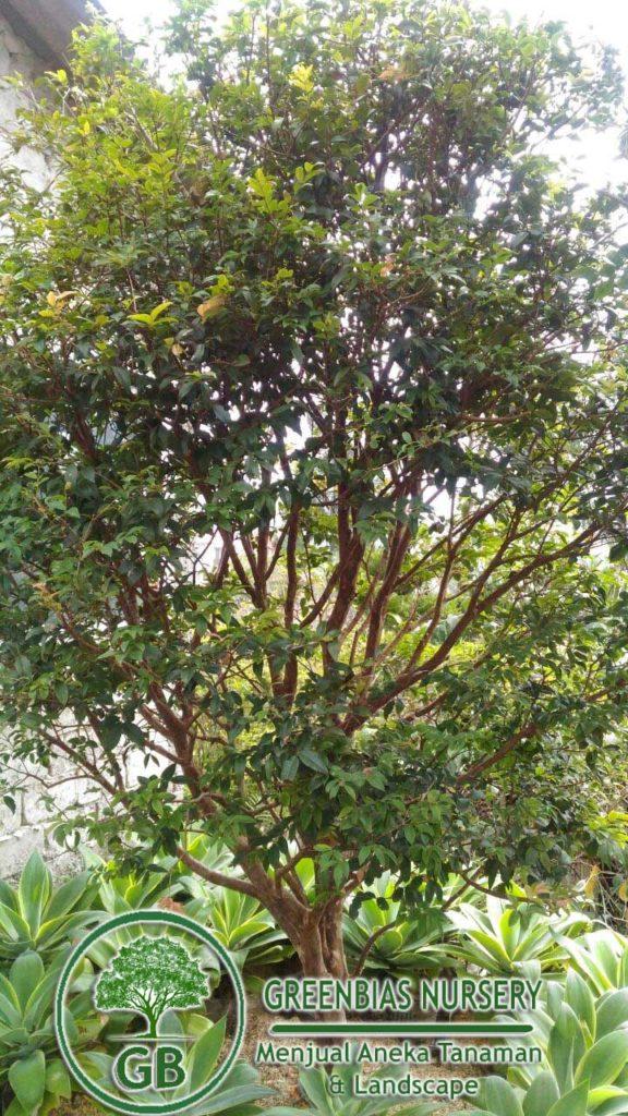 harga pohon angur Brazil