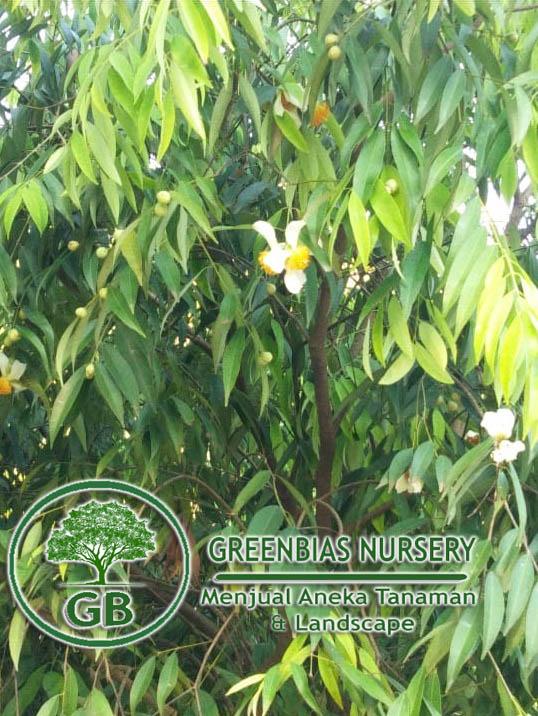 harga pohon nagasari