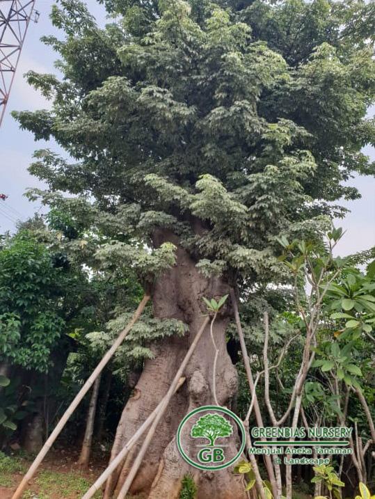 harga pohon randu varigata
