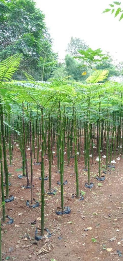 harga tanaman solobium