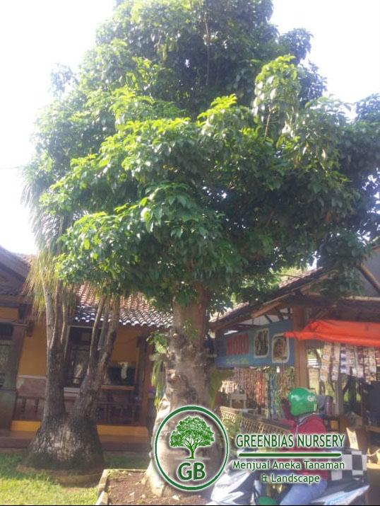 jual pohon baobab