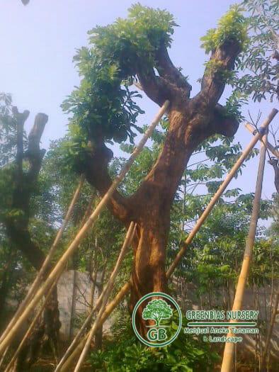 jual pohon Putat (lochvung)